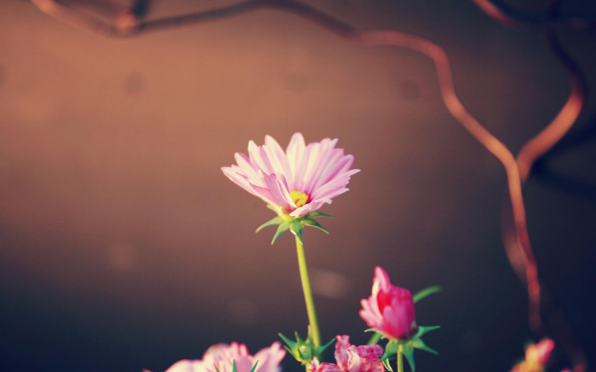 цветы, розовые, зелень загрузить