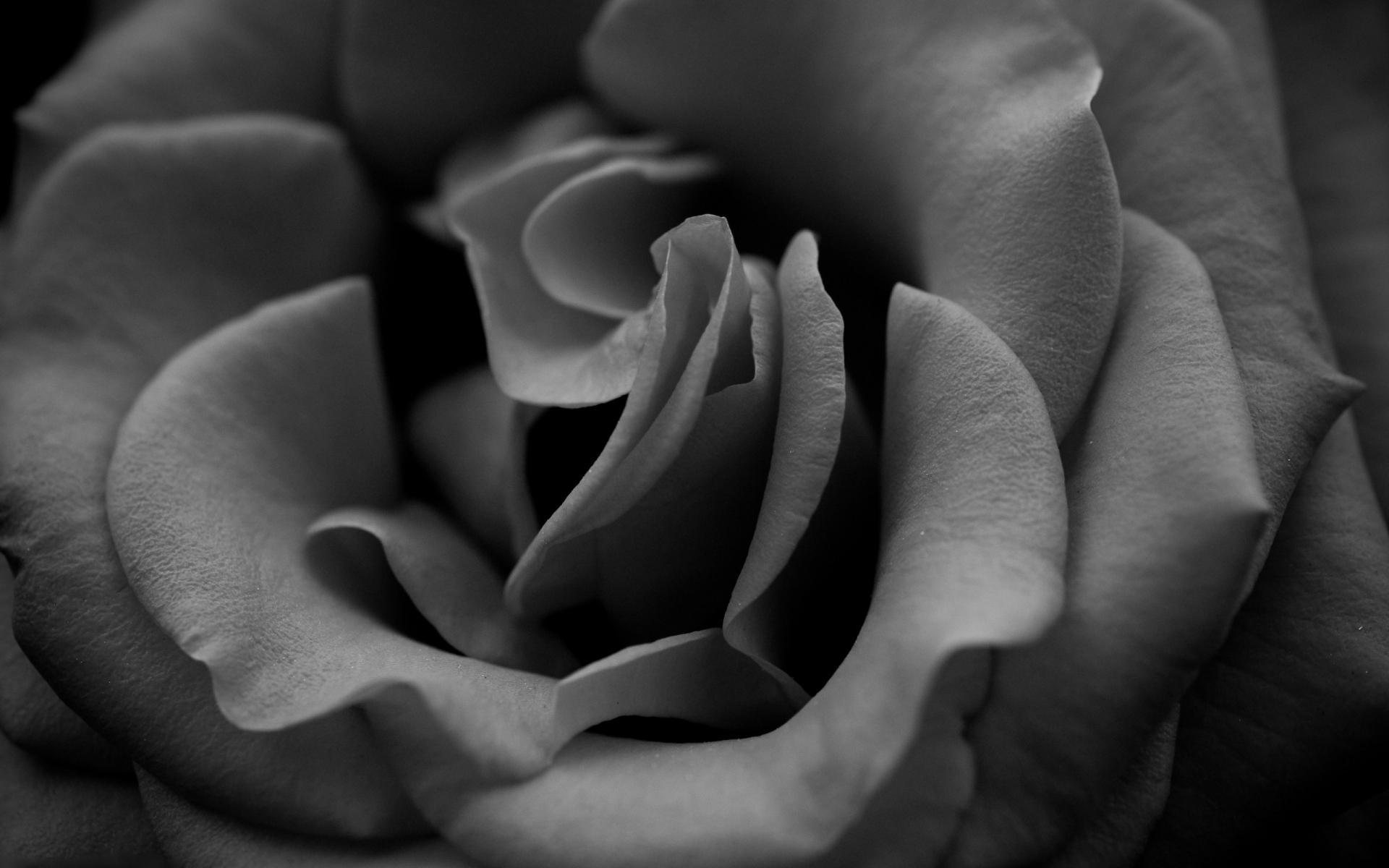 показывает розы черно белые фотографии помещался