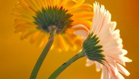 Цветы, пара, яркие, лепестки, стебель