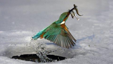 Зимородок, охота, вода, птица