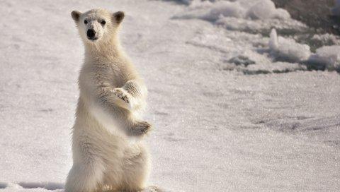 Белый медведь, снег, лед, на двух лапах