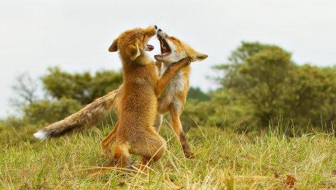 Лиса, борьба, агрессия, хищник, трава, луг, пара