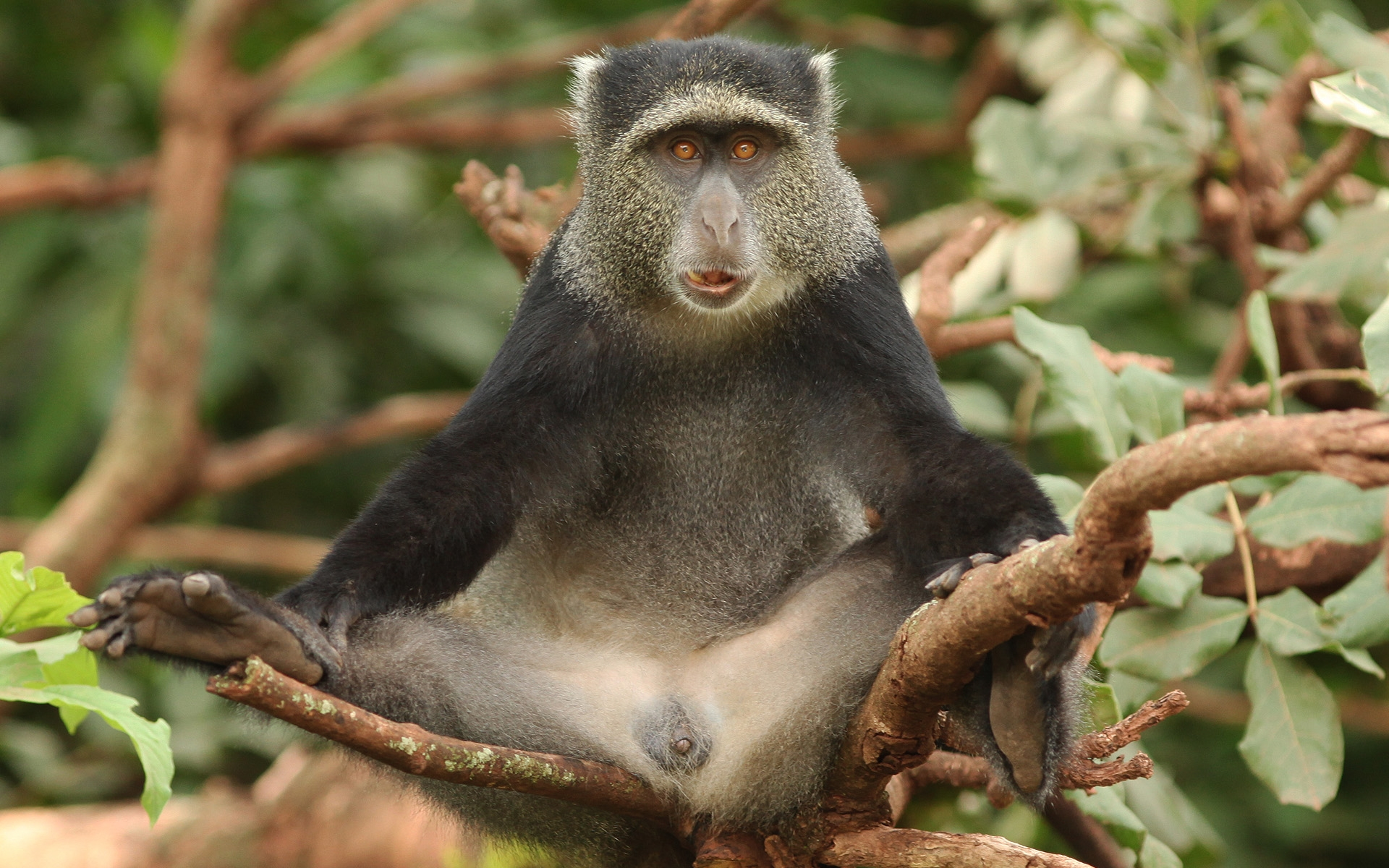 обезьяны на столе картинка румынию, отложите