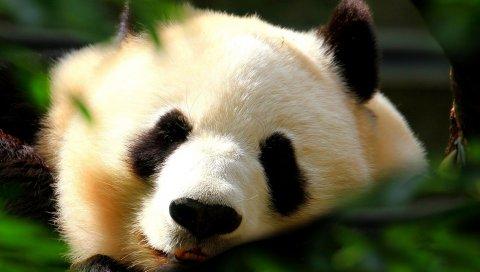 Панда, лицо, свет, сладкий