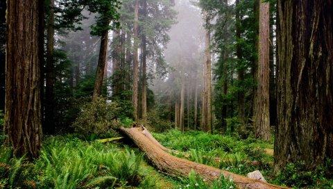 Деревья, дерево, папоротник, туман