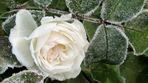 Роза, бутон, белый, иней, снег, мороз, зима