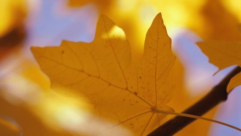 Лист, осень, клен, желтый, ветвь, вены