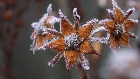 Цветы, иней, мороз, осень, плена