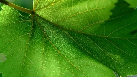 Лист, зеленый, лето, форма, резные