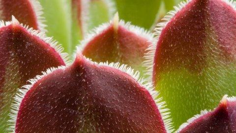 Растение, красный, зеленый, листья