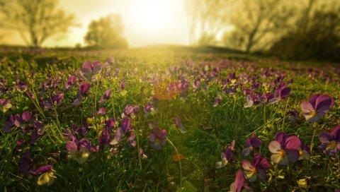Цветы, луг, сирень, солнце, лучи, утро