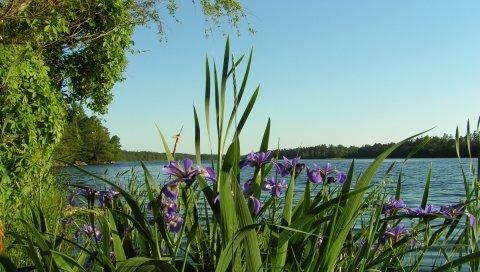 Цветы, ирисы, берег, река, деревья, лето