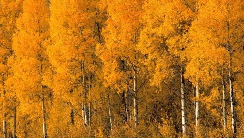 Деревья, березы, осень, кроны, кусты, листья, желтый