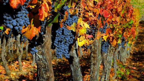 Виноград, груши, слива, ассорти, фрукты