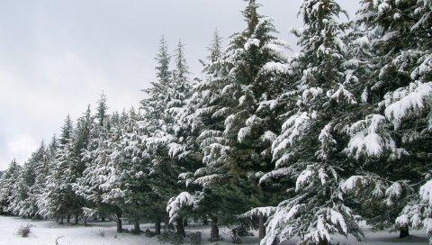 Елки, число, снег, зима, деревья