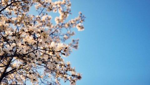 Ветка, дерево, цветок, небо, синий