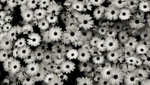 Черный белый, цветы, серый, ромашки