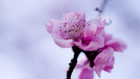 Макро, цветок, фиолетовый, ветка