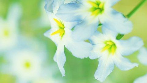 Макро, цветок, белый, нарцисс