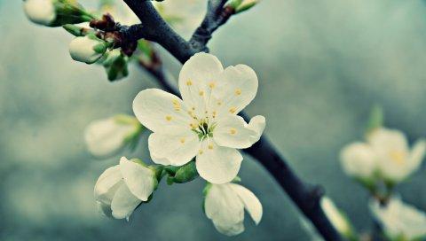 Макро, цветок, белый, ветка
