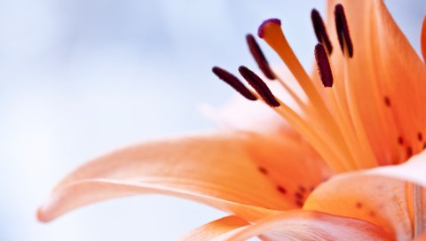 Цветок, апельсин, тычинка, коричневый