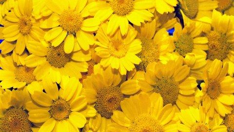 Coleostephus, желтый, фон, сад