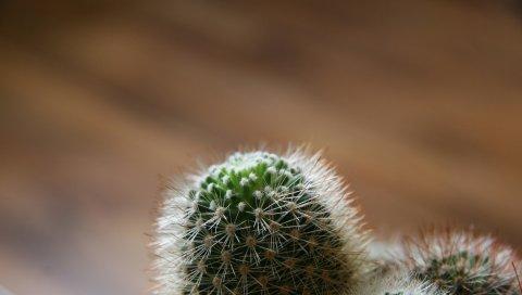 Кактус, зеленый, колючий, белый