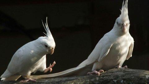 Попугаи, белые, черные, пара
