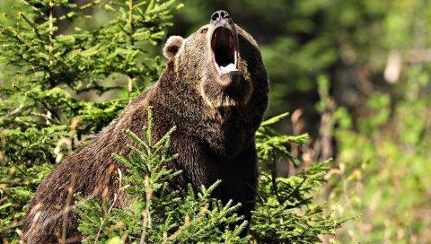 Медведь, злой, трава, деревья
