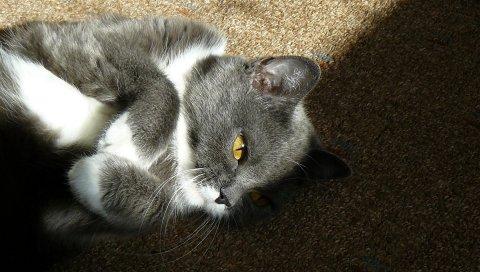 Кошка, котенок, черный, белый, пятнистый