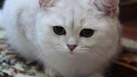 Кошка, белый, глаза, грустный, светлый, сладкий