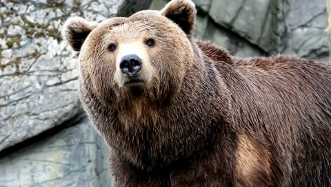 Морда, медведь, коричневый, большой