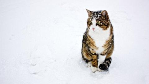 Кошка, пятнистый, полосатый, снег, зима, прогулка