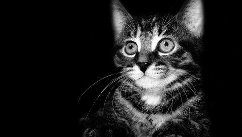 Черный белый, котенок, белый, черный, тень, ребенок, страх