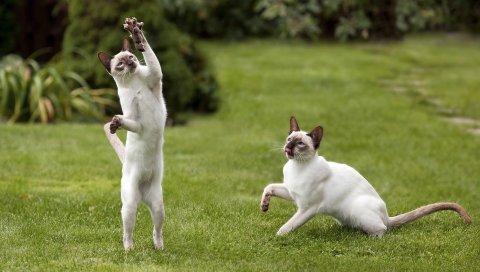Кошки, черный, белый, трава, игра