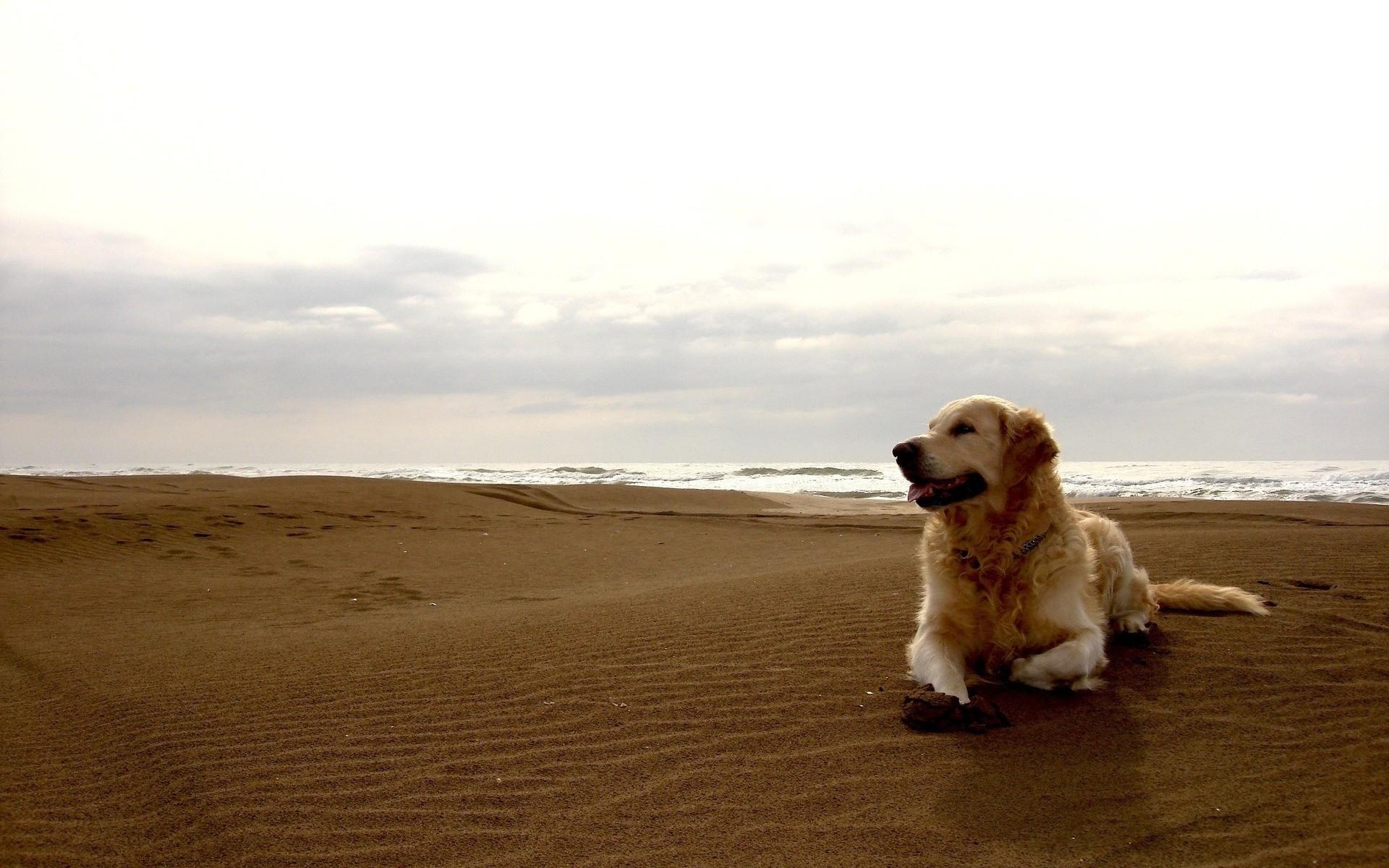 Картинки Собака, лабрадор, пляж, песок фото и обои на рабочий стол