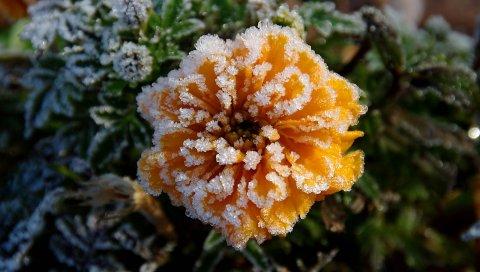 Цветок, иней, морозы, осень, холод