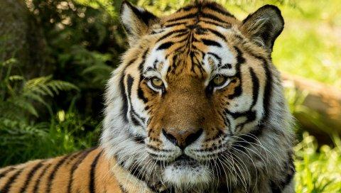 Сибирский, Тигр, Владимир, Дартмур, Зоопарк