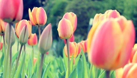 Тюльпаны, Пасха