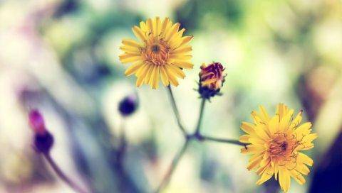 Желтый, Дейзи, Весна