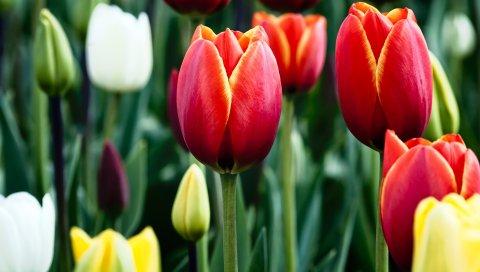 Тюльпаны, Блум