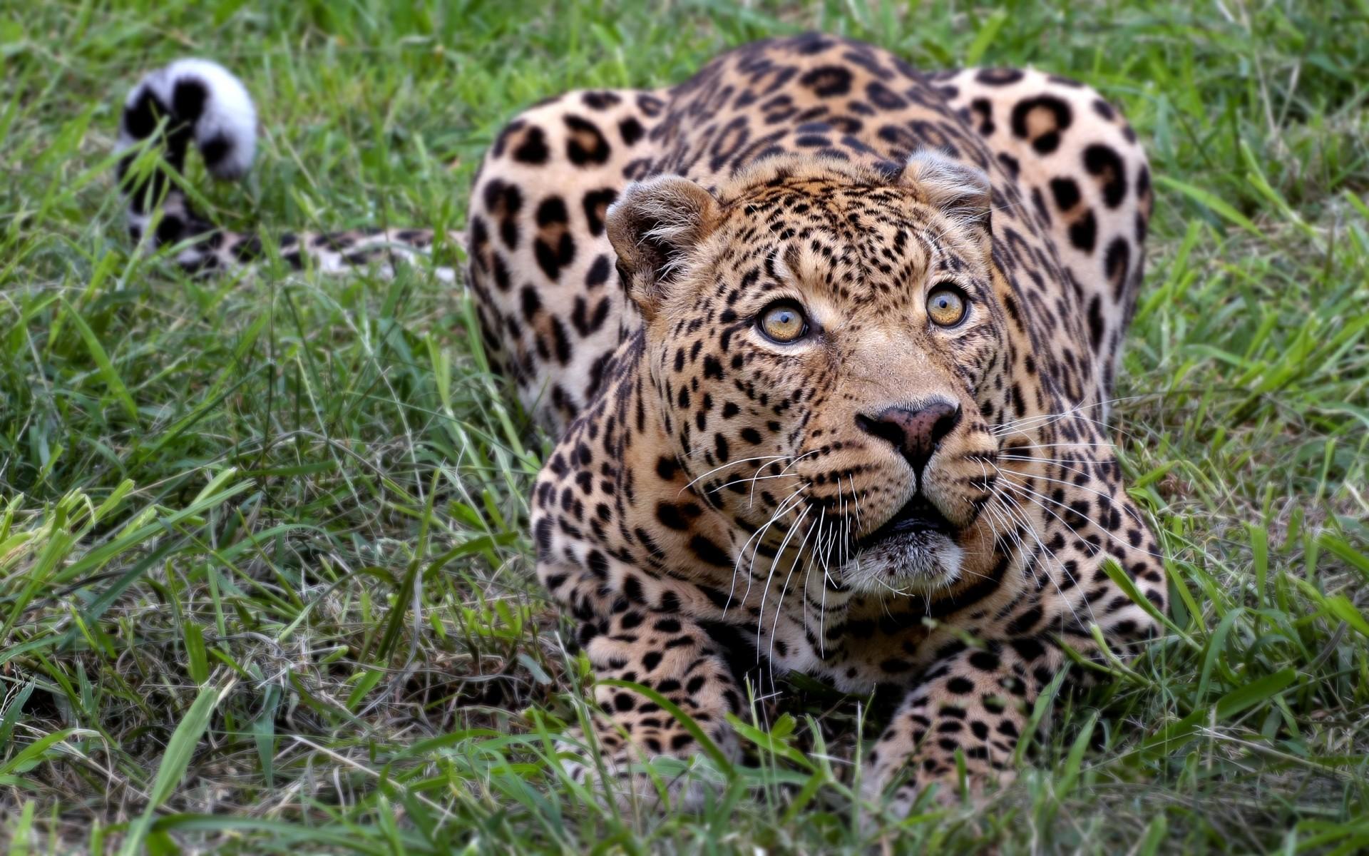 Картинки Леопард, африканский фото и обои на рабочий стол