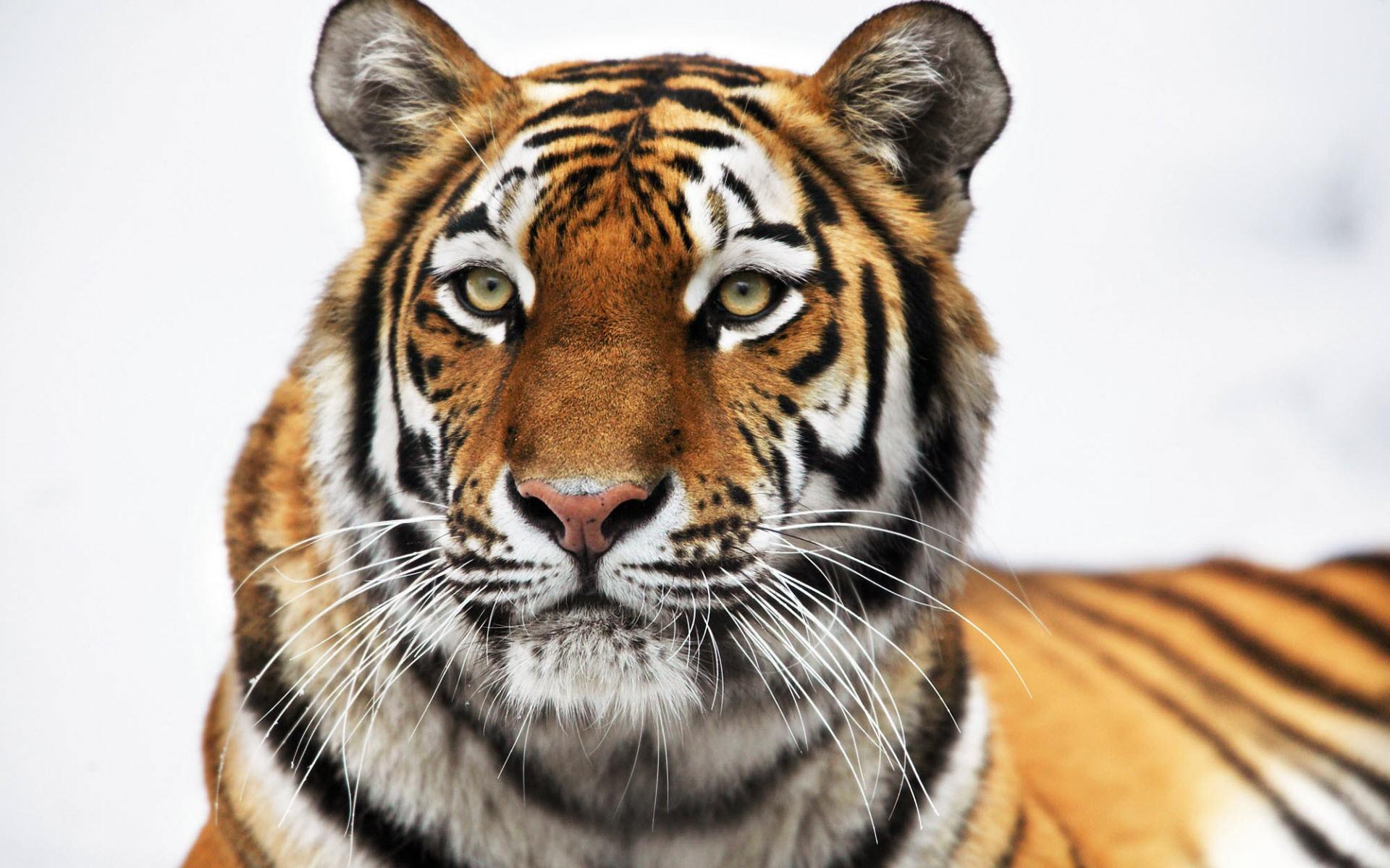 Картинки Сибирский тигр фото и обои на рабочий стол